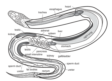 The respiratory systems of the reticulated python biology blog the left lung can also be used by water snakes but as an aid for buoyancy rather than for respiration ccuart Images